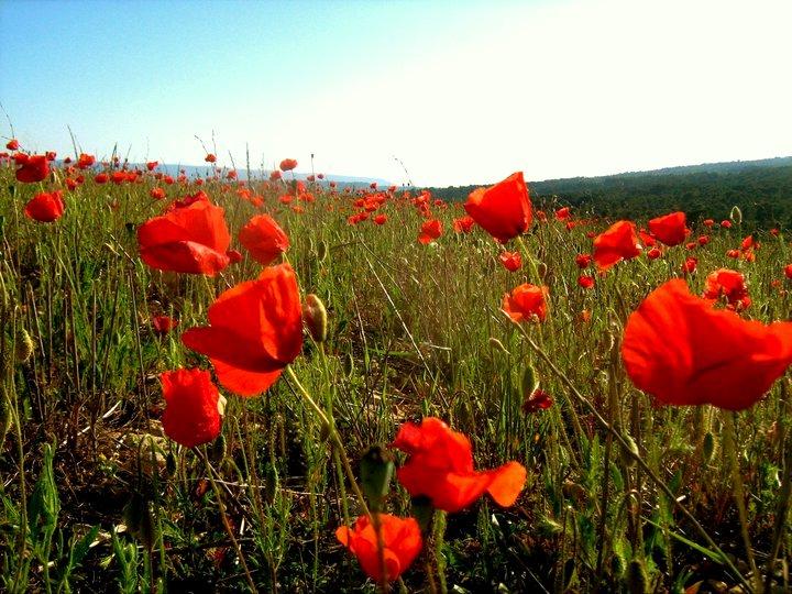 Mohnblumen Provence