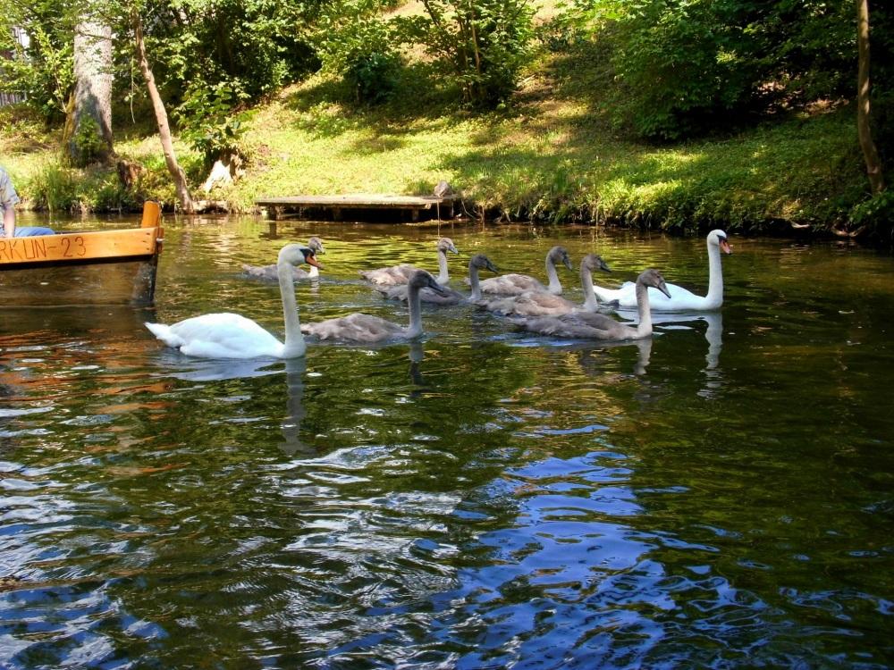 Schwan Familie Schwäne Masuren See Natur Polen