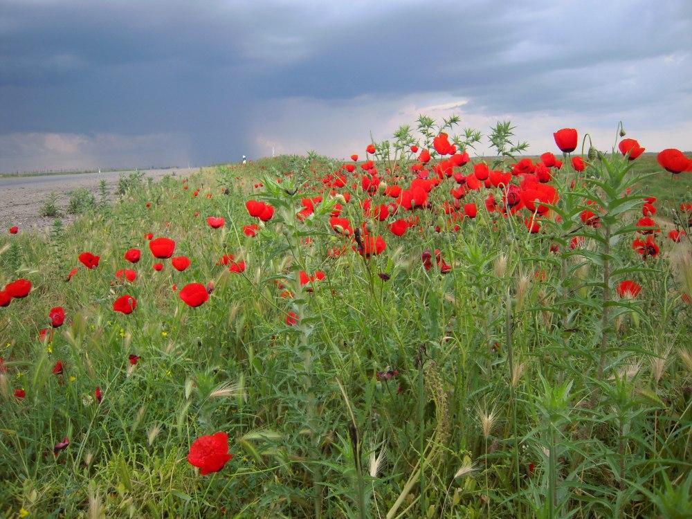 Mohnblumen Pavot Poppy Desert Wüste Karakum Turkmenistan Ashgabat Merw Mary Turkmenabad