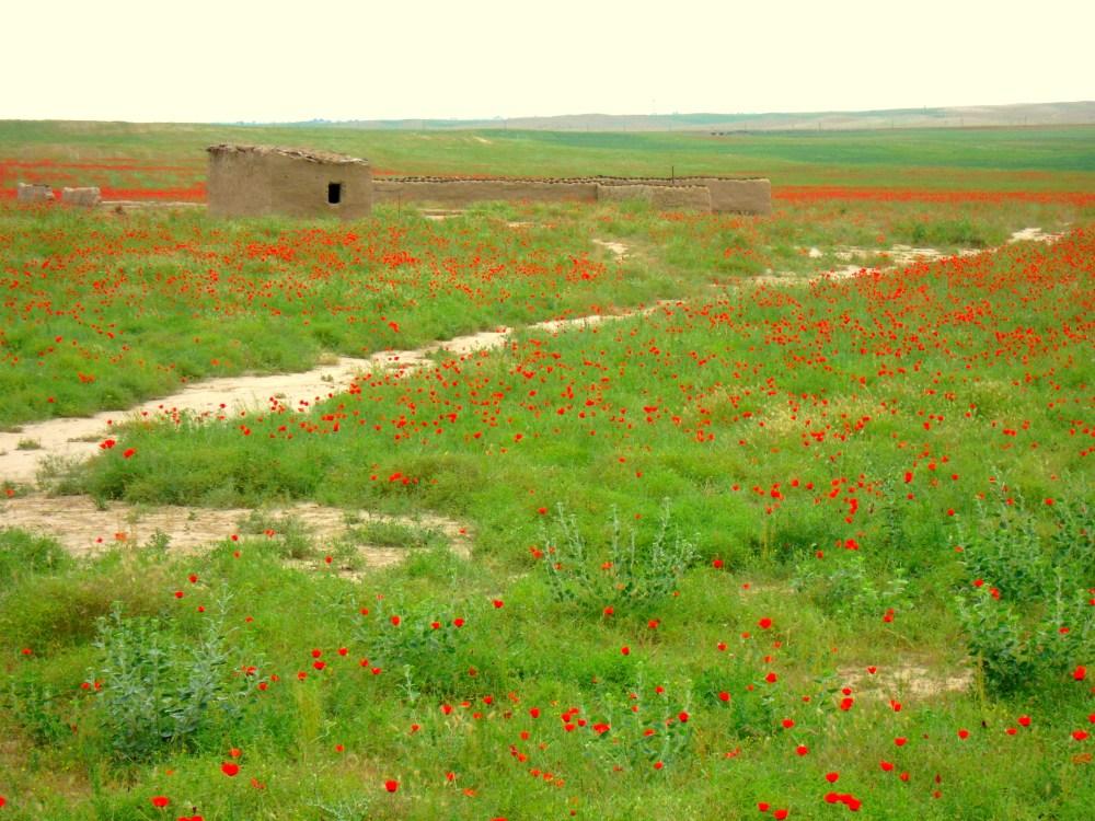 Mohnblumenfeld Pavot rouge red Poppy Mohn1 Turkmenistan