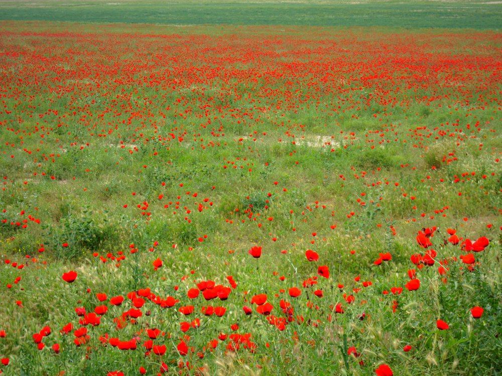 Mohnblumenfeld Pavot rouge red Poppy Mohn2 Turkmenistan