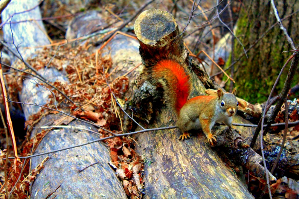 Eichhörnchen Kanada Canada kanadisch Natur Wald Baum wild Tier Nationalpark Algonquin Tierwelt forest exploreglobal Reiseblog