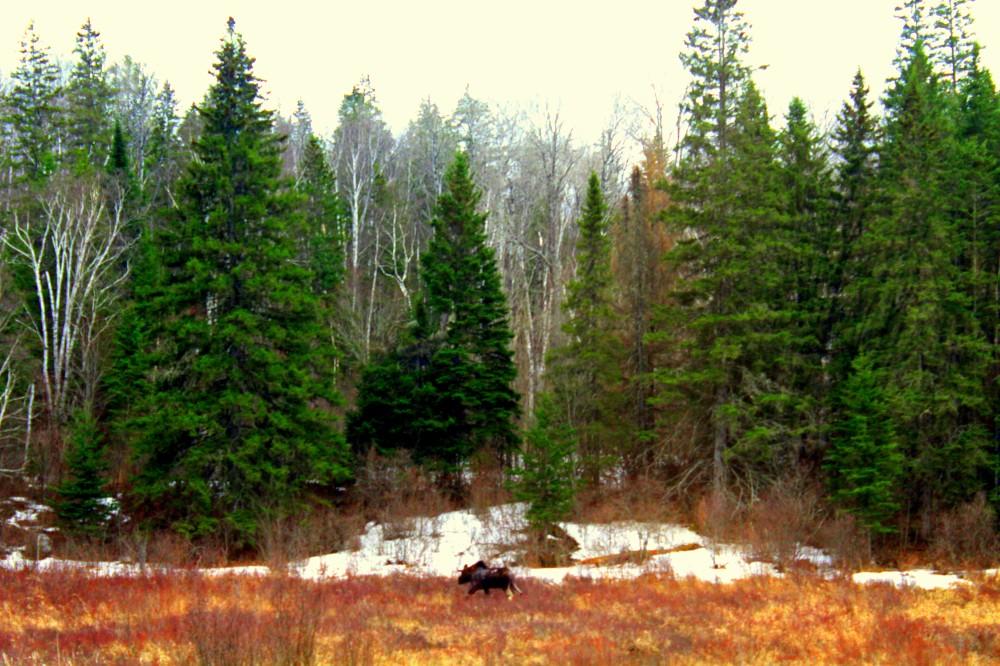 Ein Elch auf der Strecke im Algonquin Nationalpark Ontario Kanada Canada moose Wald forest Reiseblog exploreglobal www.exploreglobal.wordpress.com
