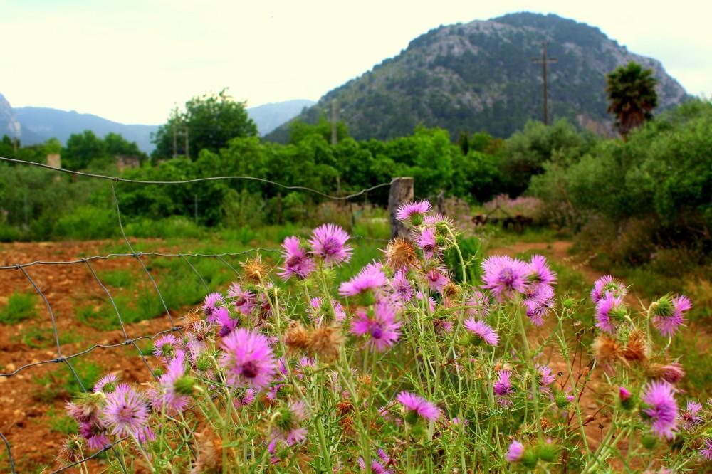 Landschaft mit Blumen rund um den Berg bei Pollenca Mallorca Norden Tramuntana Reiseblog exploreglobal