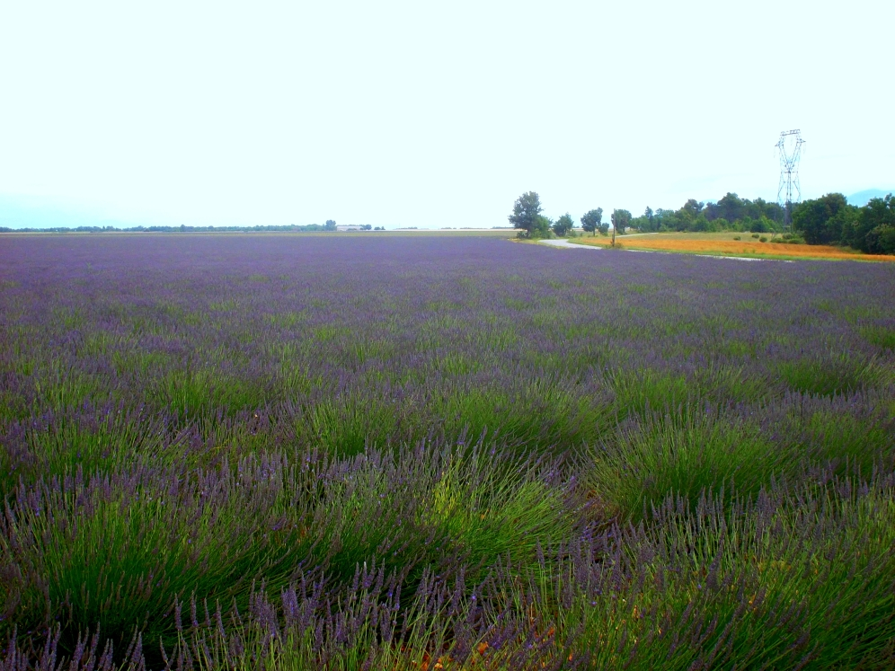 Lavendelfeld in der Haute-Provence nahe Manosque und Digne-les-Bains
