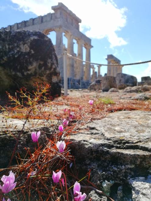 blühende Veilchen an der Zisterne am Aphaiatempel auf der Insel Ägina