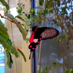 Singapur Changi Airport roter Schmetterling butterfly Halle Terminal Exploreglobal